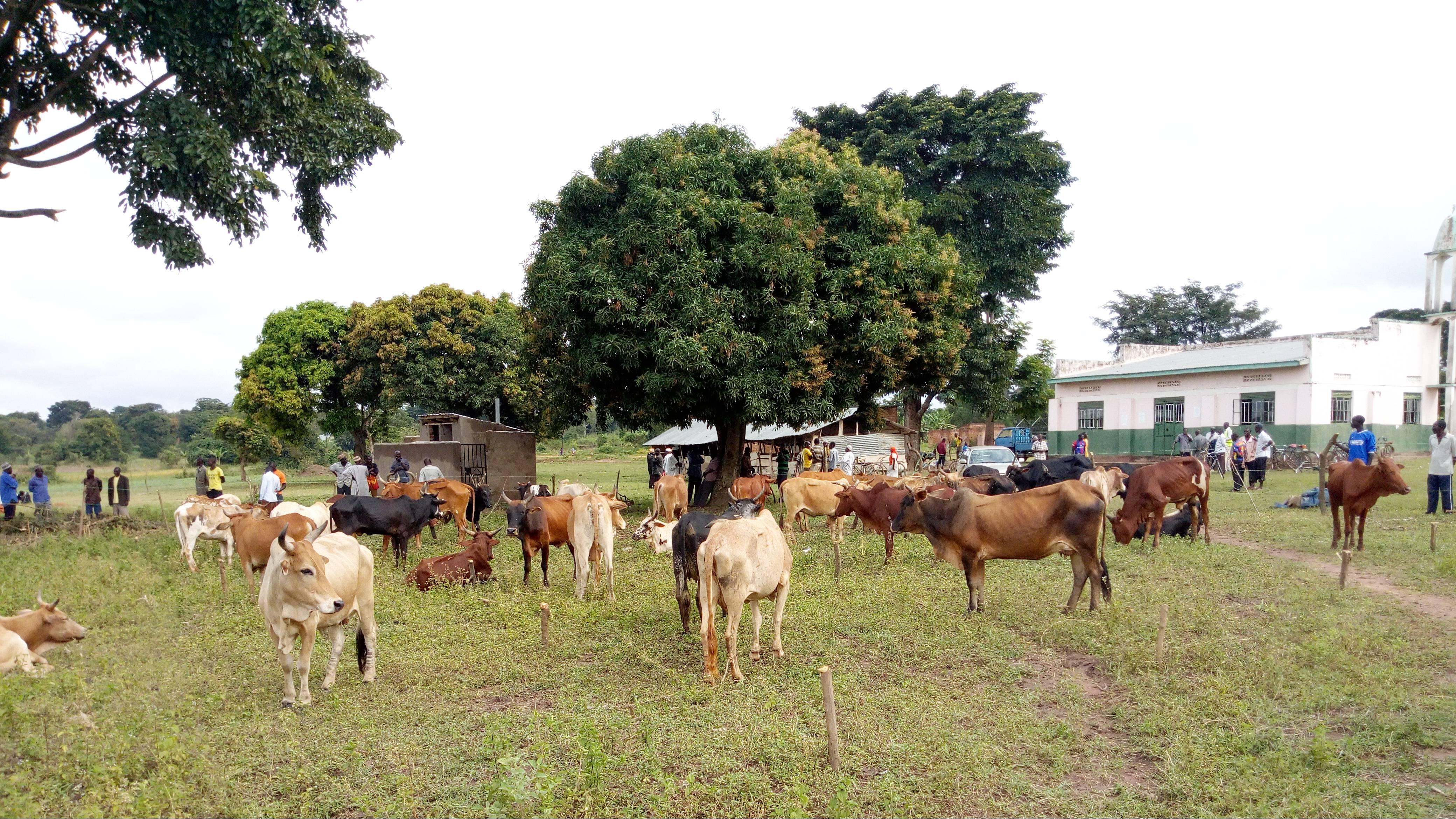 Qurban - Udhiyyah feeding project in Uganda 2021/1442H